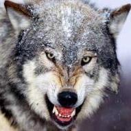 timewolf